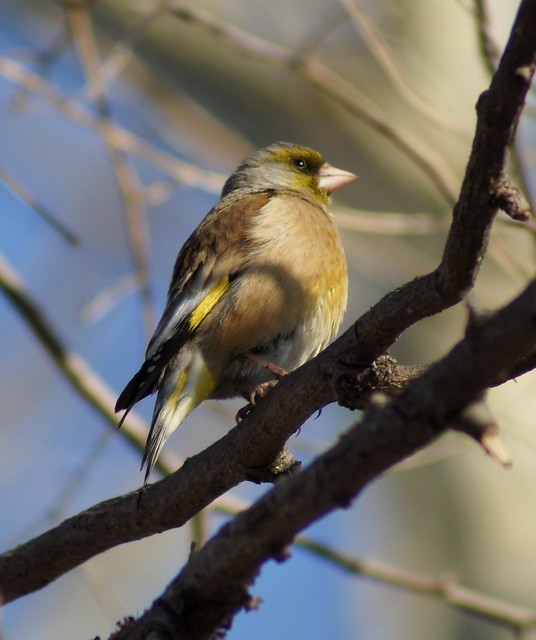 Grey-capped Greenfinch, Carduelis sinica, Китайская зеленушка