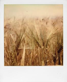 In a wheat field ... | by @necDOT