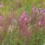 Schmalblättriges Weidenröschen (Rosebay Willowherb, Epilobium angustifolium)