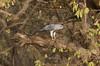 Shikra (Accipiter badius sphenurus) by macronyx
