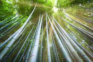 Arashiyama Bamboo Grove | by Mizrak