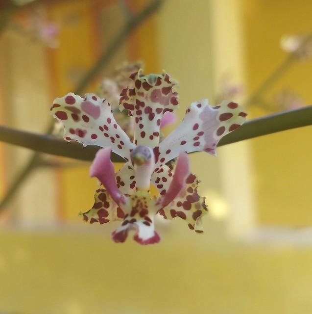 Orquídea da Chapada Diamantina - Bahia - Brasil