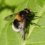 Hummel-Waldschwebfliege (Bumblebee Hoverfly, Volucella bombylans var. plumata)