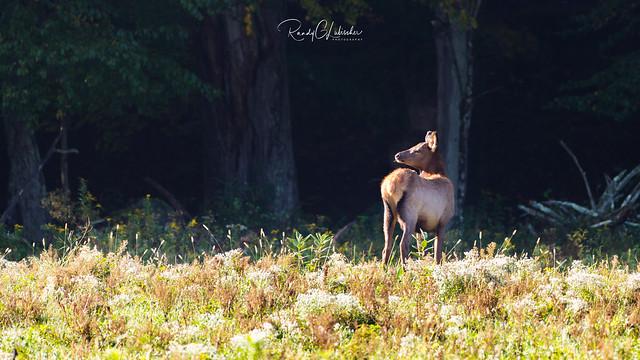 Elk of Benezette   2016 - 23