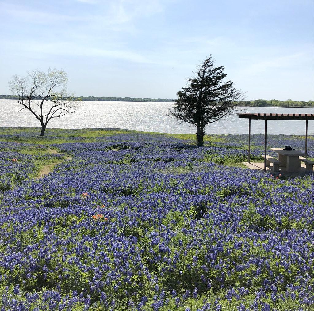Bluebonnets By Lake Ennis Texas Schnauzergal Flickr