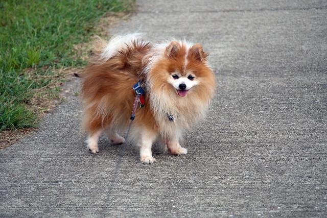 Pomeranian dog pomsky