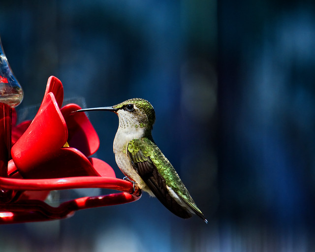 Humming bird sticking its tongue out