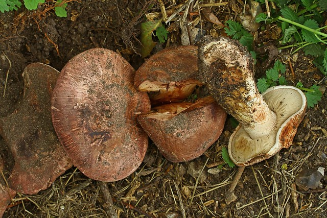 Allopsalliota geesterani ''Magic Button Mushroom'' Whitlingham 10.9.2018 (11)
