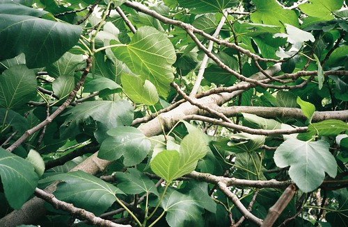 Bedminster fig tree | by knautia