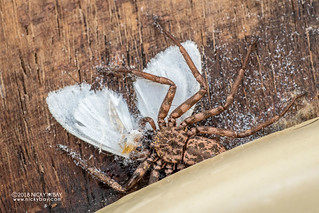 Flatty spider (Hovops sp.) - DSC_1710 | by nickybay
