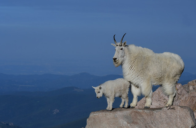 Life at the Top - Mountain Goat and Kid - 4926b+