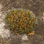 Polster-Kissenmoos (Grimmia pulvinata) auf der Schurenbachhalde