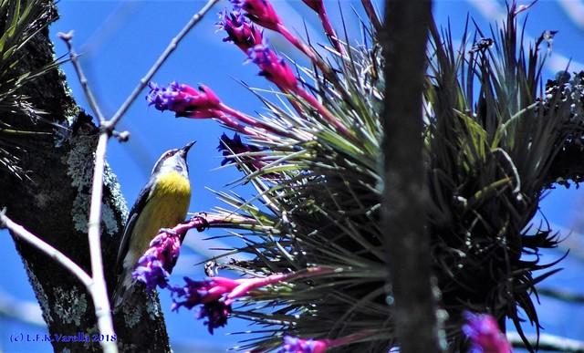 sebinho (cambacica) e Tillandsia aeranthos