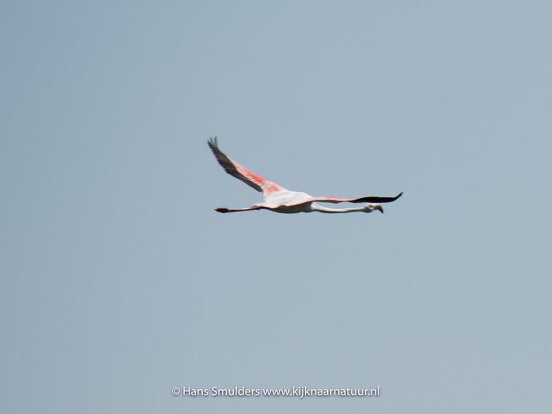 Flamingo (Phoenicopterus roseus)-818_5924