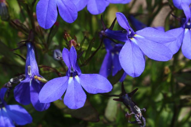 Lobelia Erinus L Bg Meise Ruud De Block Flickr