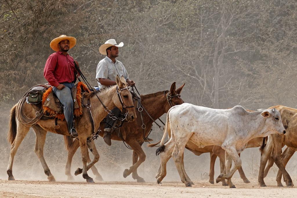 Pantaneiros et bétail - Pantaneiros and cattle