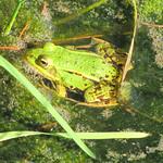 Teichfrosch (Pelophylax esculentus) im Königsforst