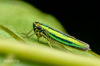 Leafhopper (cf. Kolla sp.) - DSC_1336