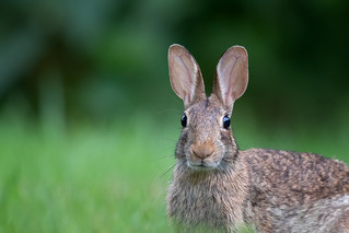 Cottontail up close | by Rob & Amy Lavoie