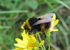 Buff-tailed Bumblebee - Bombus terrestris