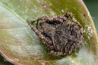 Orb weaver spider (Neoscona sp.) - DSC_8498 | by nickybay
