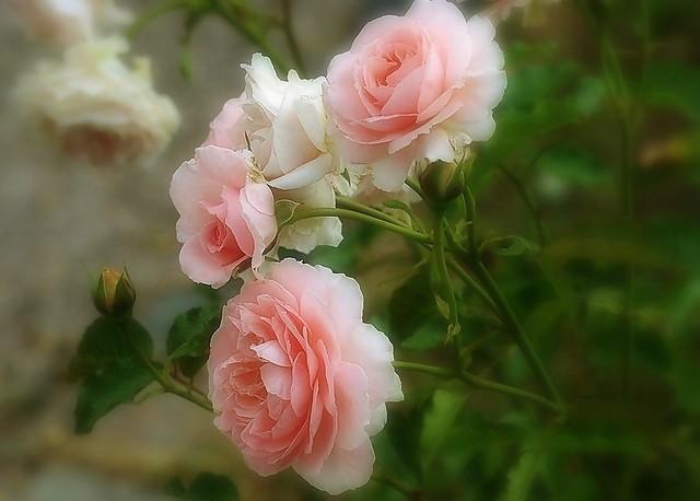 Le charme des roses
