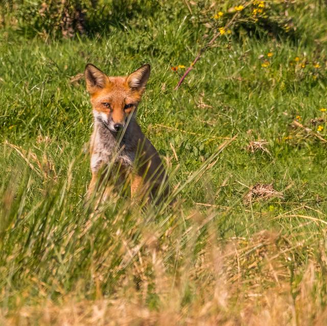 Juvenile Fox