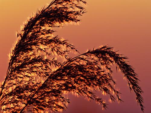 dxo mc14 teleobjektiv 300mm mzuiko olympusmzuiko300mm olympusomdem1markii gräser reeds weeds sunset sundown himmel sonnenuntergang nahaufnahme closeup naturfoto naturfotographie natur nature orange red olympus rieselfelder