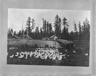 Chicken farming near Edmonton, Alberta / Élevage de poules près d'Edmonton (Alberta)