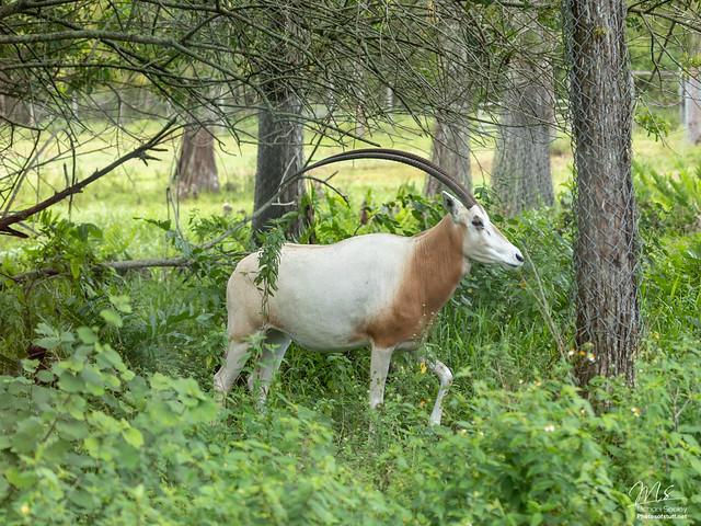 Scimtar-Horned Oryx