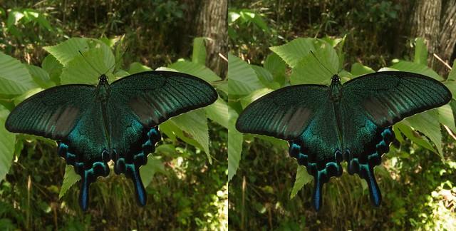 Papilio dehaanii, stereo cross view