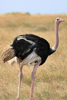 Common ostrich | by dmmaus