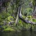 Tree Hanging On For Life, South Fiord, Lake Te Anau