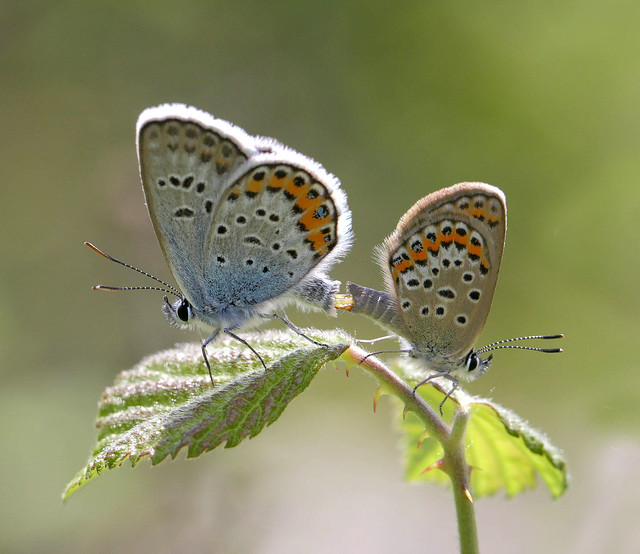 Mating silver-studded blues