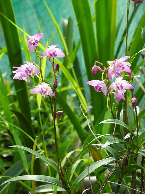 Mauve Orchids