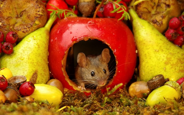 wild mouse inside a apple with Autumn fruits  (5)