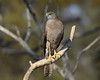 Brown Goshawk Accipiter fasciatus by Neil Cheshire