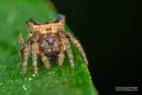 Broad-headed bark spider (Caerostris cf. extrusa) - DSC_9719 | by nickybay