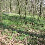 Im Frühling blüht auf dem Drachenfels der Hohle Lerchensporn (Corydalis cava) in großer Zahl