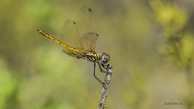Trithemis annulata. Young male
