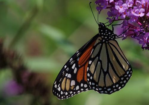 pentax k1ii k1markii hdpentaxda55300mmf4563edplmwrre ct connecticut vbd butterfly newengland bokeh monarchbutterfly summer2018 handheld danausplexippus 2018