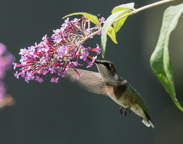 015A3651 Ruby-throated Hummingbird
