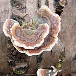 Schmetterlingstramete (Turkey Tail, Trametes versicolor)