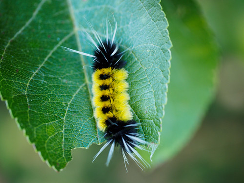 Spotted Tussock Moth (yellow and black) caterpillar | by (robcee)