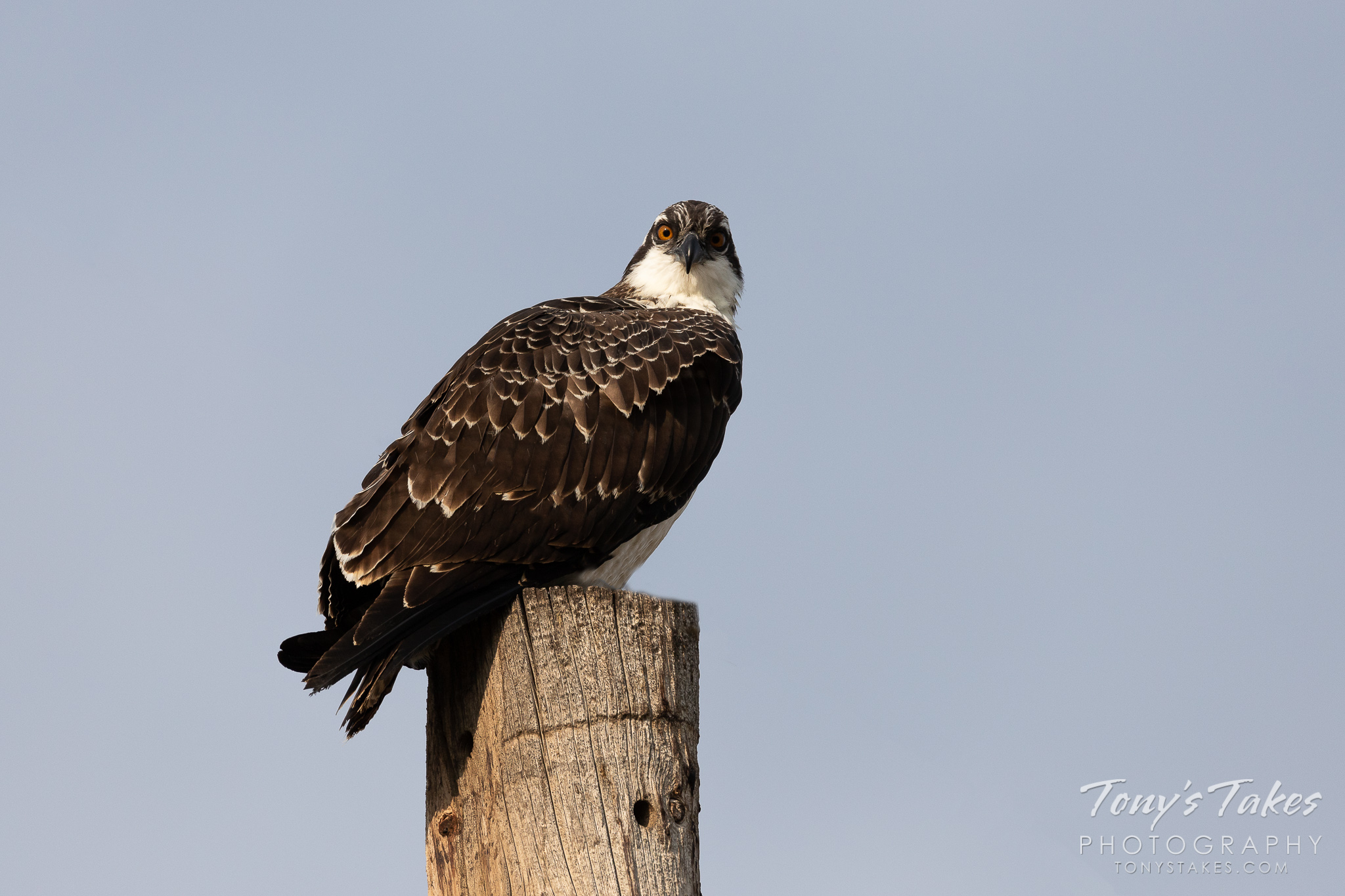 Young Osprey keeping an eye on me