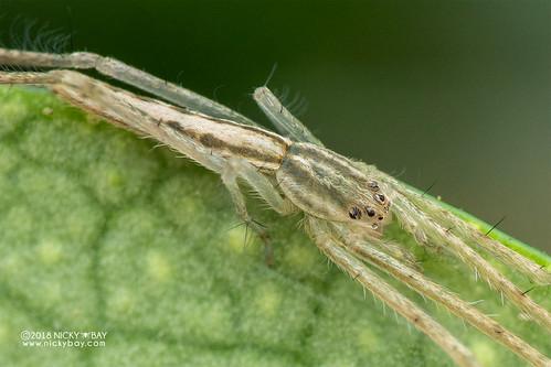 Pisaurid spider (cf. Pisauridae) - DSC_0168b   by nickybay