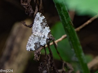 Garden Carpet Moth | by dudutrois