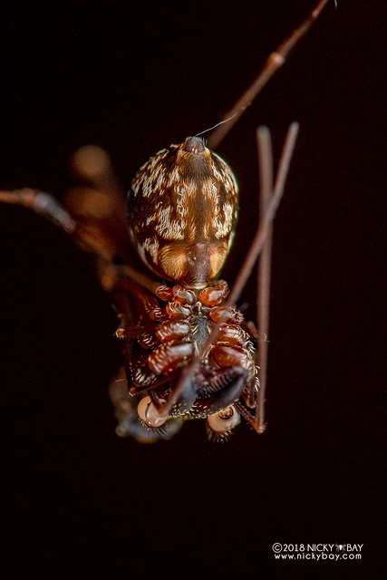 Assassin spider / Pelican spider (Eriauchenius sp.) - DSC_9953
