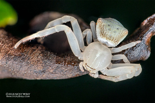 Crab spider (Cyriogonus sp.) - DSC_0584 | by nickybay