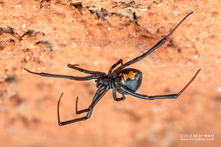 Black widow spider (Latrodectus sp.) - DSC_1199 | by nickybay